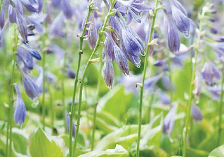 Funkia: w Japonii jest popularnym warzywem – łodygi zwane urui przyrządza się jak szparagi, a liście jak szpinak. Świat