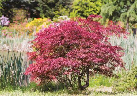 Klon - rodzaje drzew i charakterystyka