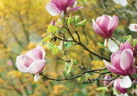 krzewy kwitnące magnolia