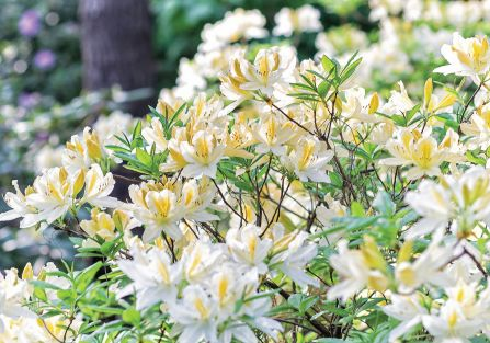 RODODENDRON WIELOKWIATOWY BIAŁY (RHODODENDRON 'CUNNINGHAM'S WHITE')