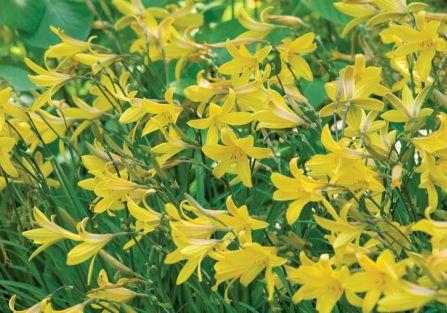 Liliowiec – piękność dnia