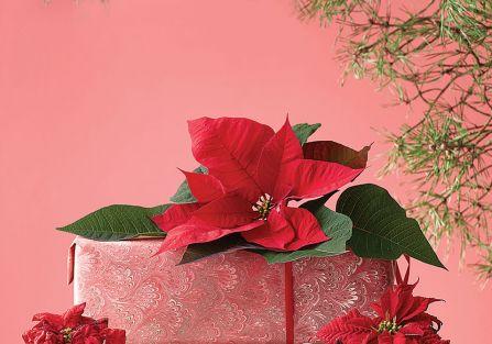 Świąteczne ozdoby: gwiazda betlejemska, poinsecja