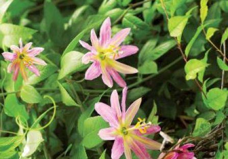 Passiflora. Kwiaty, rośliny, passiflora, owoce