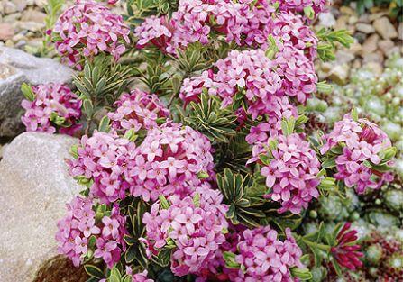 Wawrzynek wilczełyko to krzew obsypany różowymi kwiatami, które bardzo intensywnie pachną. Jak go uprawiać?