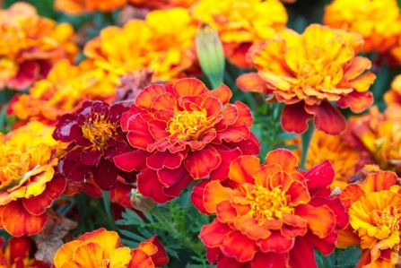 pomarańczowe kwiaty w ogrodzie
