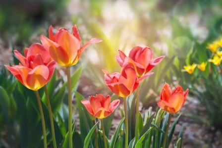 wiosenne kwiaty tulipany