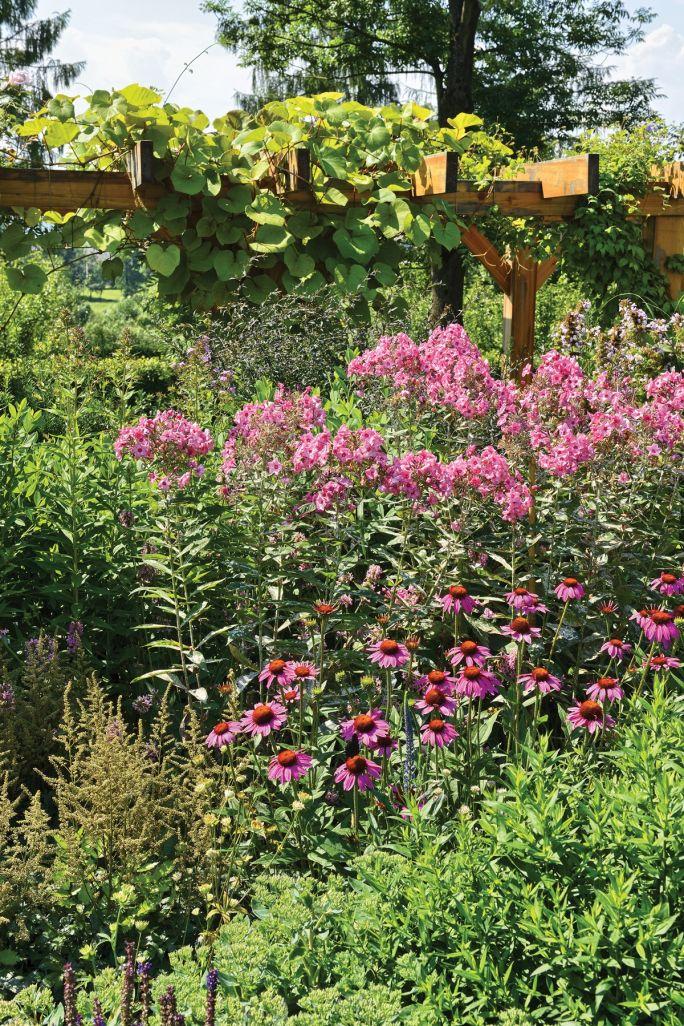jeżówka w ogrodzie