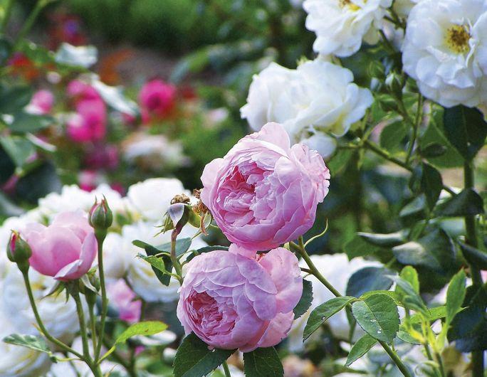 dwór w bilczycach róże