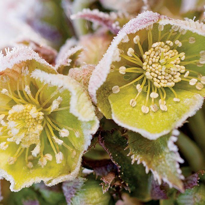 Rośliny ozdobne zimą: zimowe kwiaty i kolorowe liście