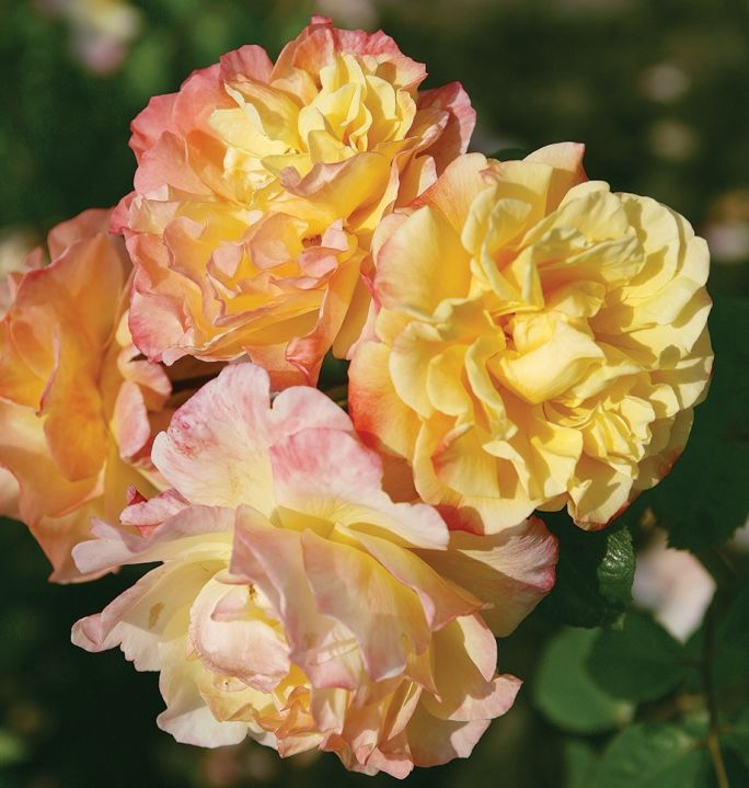 pielęgnacja róż pnących