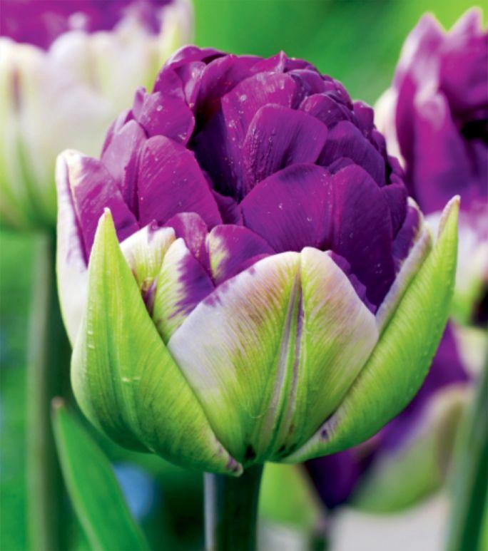 kwitnące kwiaty cebulowe