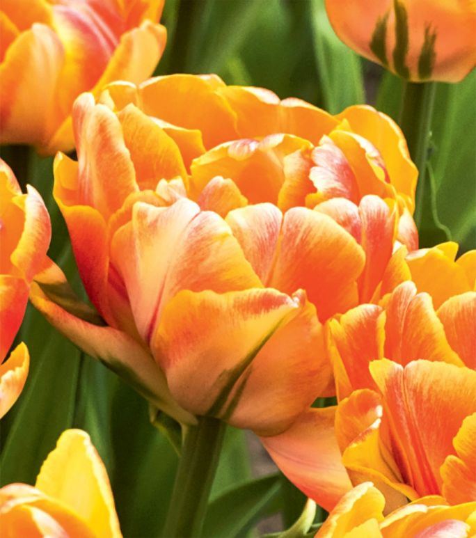 kwitnące kwiaty cebulowe tulipany