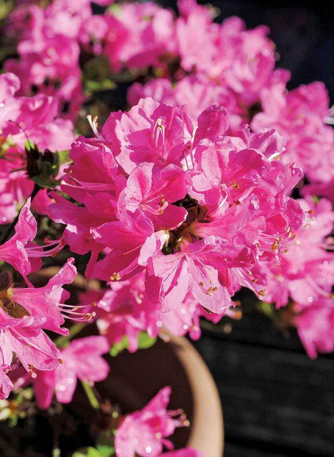 azalia japońska różowa w ogrodzie japońskim