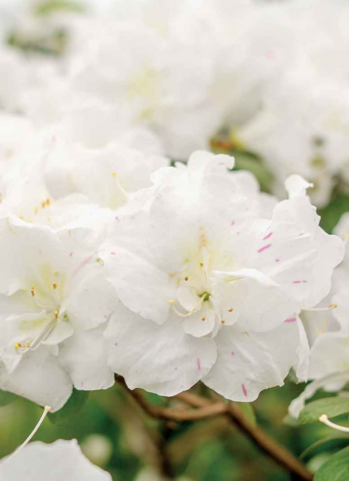 biała azalia japońska ogród japoński