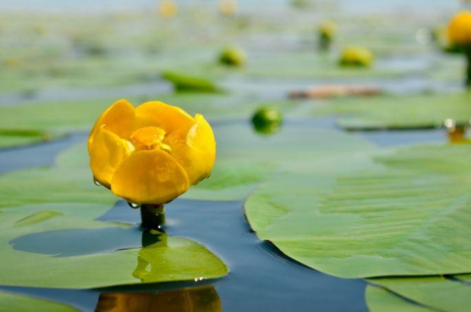 kwiaty do oczek wodnych