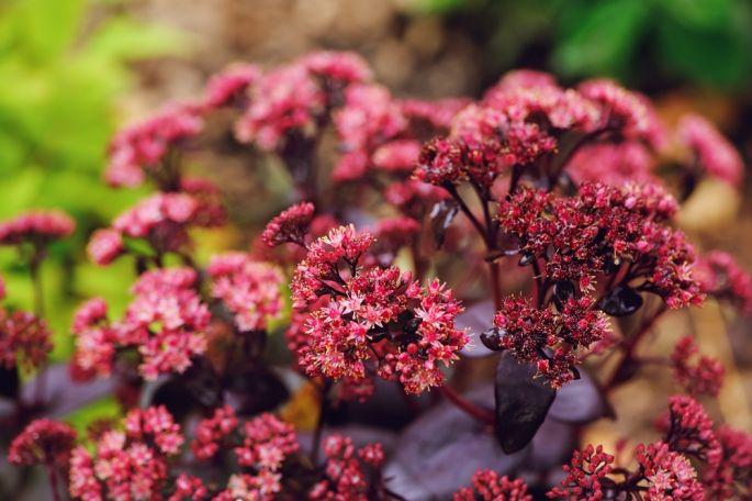 rozchodnik byliny kwitnące jesienią