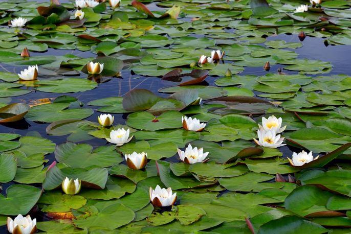 lilia wodna grzybień biały