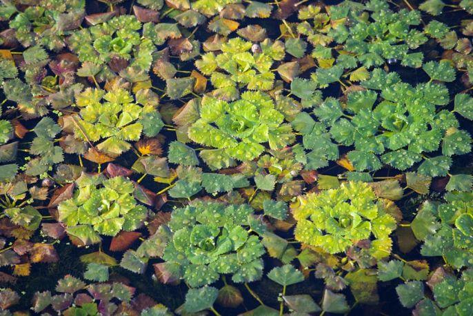 rośliny wodne pływające