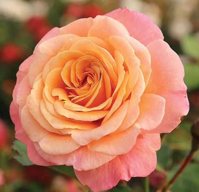 róża pnąca odmiany