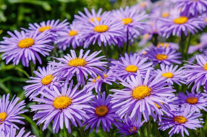 astry jesienne kwiaty