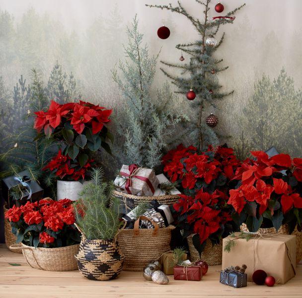 gwiazda betlejemska dekoracje bożonarodzeniowe