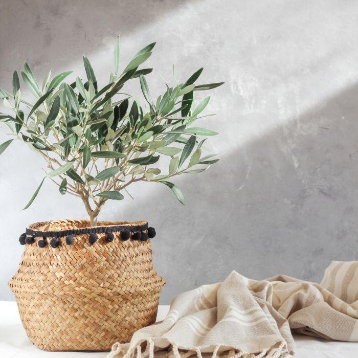 drzewko oliwne w doniczce