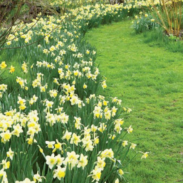 Bladożółte żonkile ładnie wyglądają na tle zielonej murawy i białej kory brzóz.