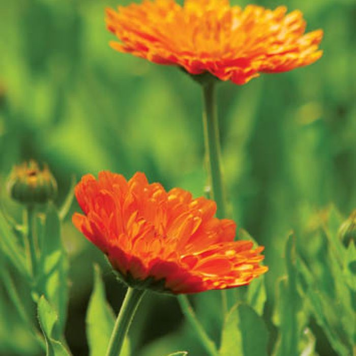 Do celów leczniczych używa się płatków tylko pomarańczowych nagietków.