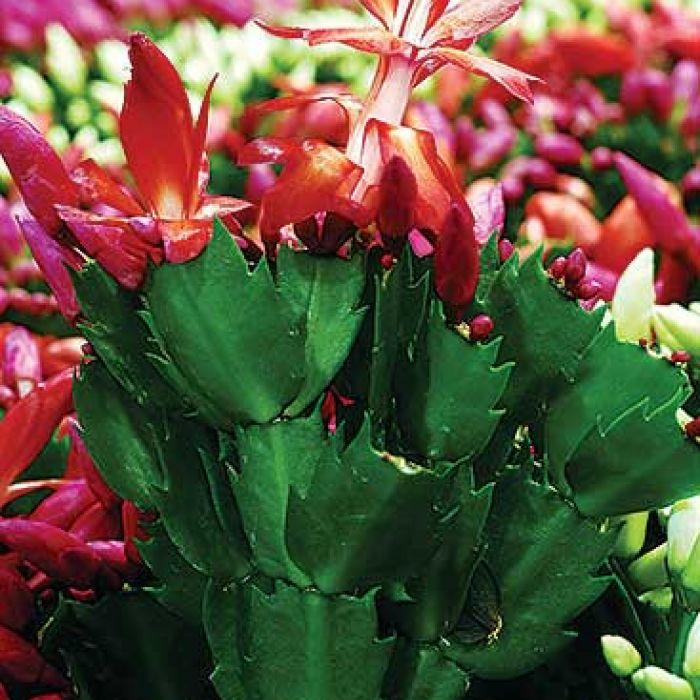 Kaktusy na święta. Kaktusy na święta