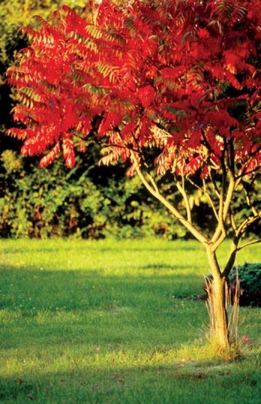 Sumak octowiec jesienią. Sumak – jesienna ślicznotka