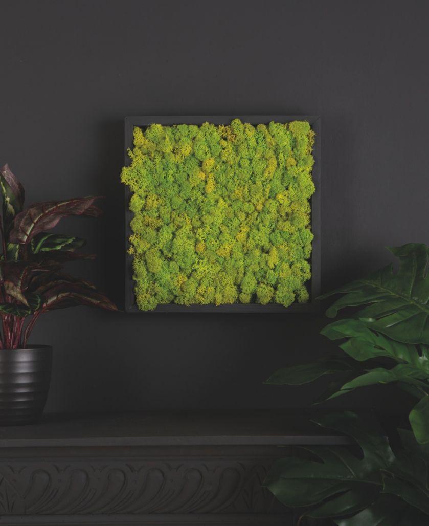 chrobotek reniferowy zielona ściana