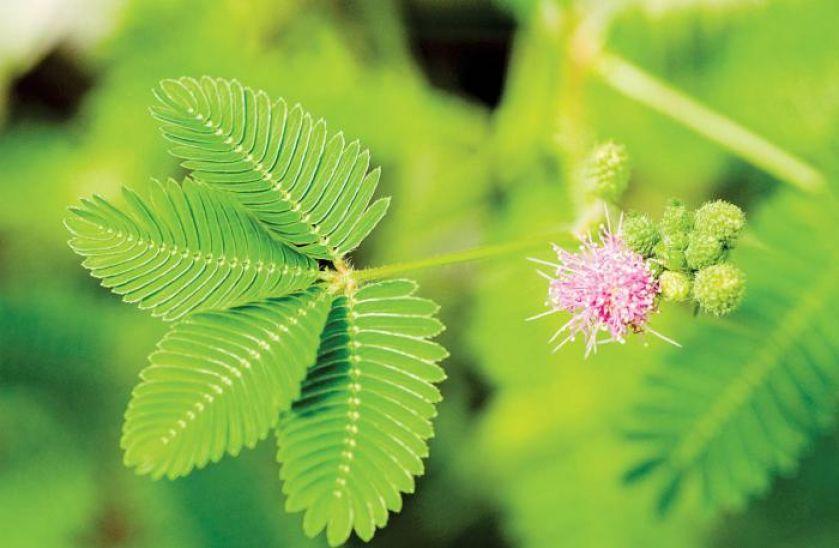 Mimoza roślina