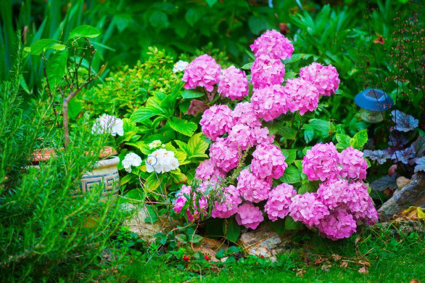 Hortensja ogrodowa (Hydrangea macrophylla)