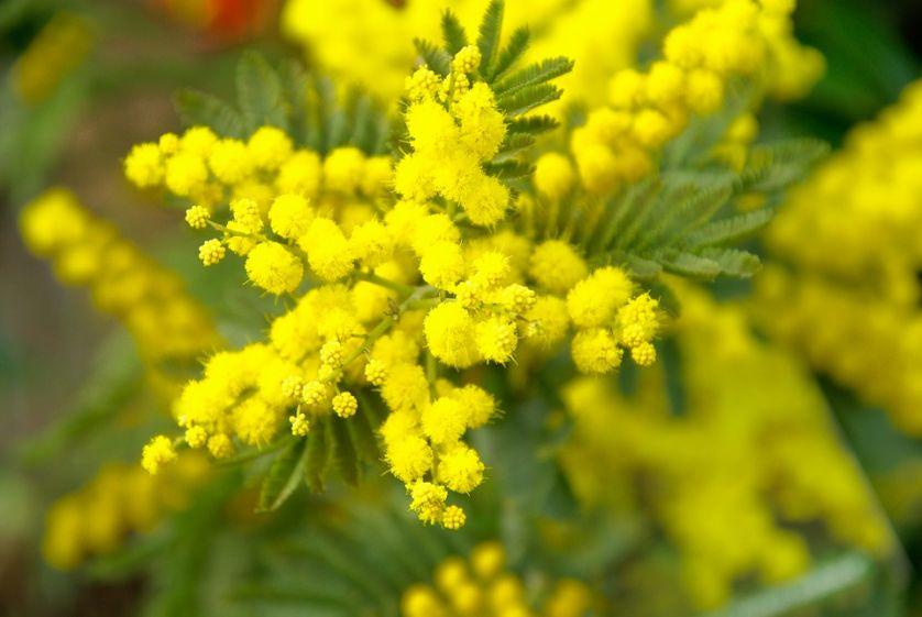Mimoza żółta