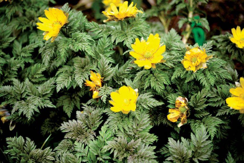 Żółte kwiaty pięciornika doskonale nadają się do obsadzenia krzewów.