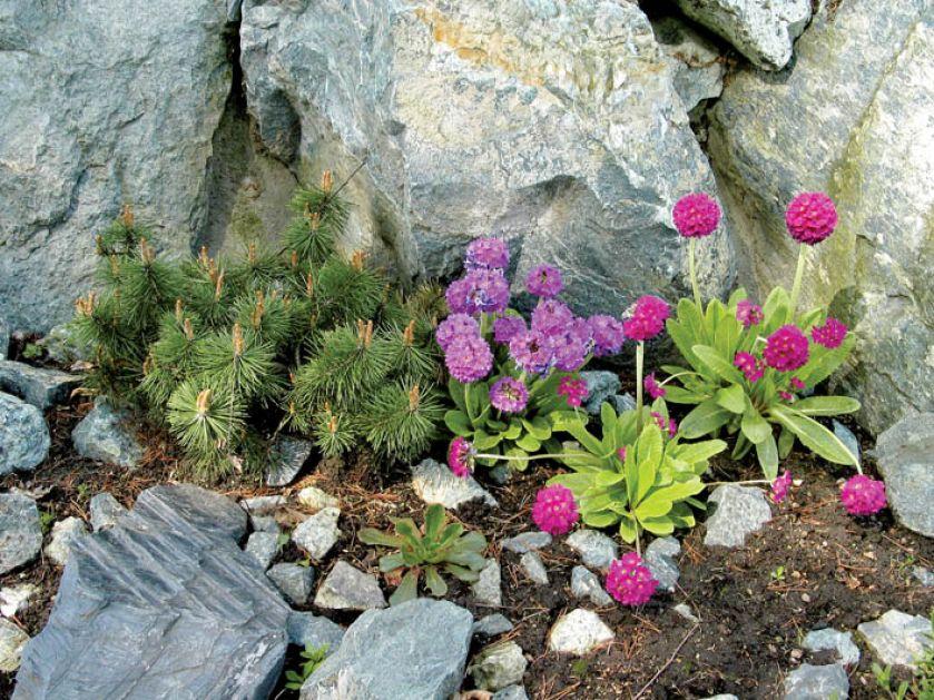 Wystarczy kilka kęp stokrotek, by ogród nabrał kolorów.