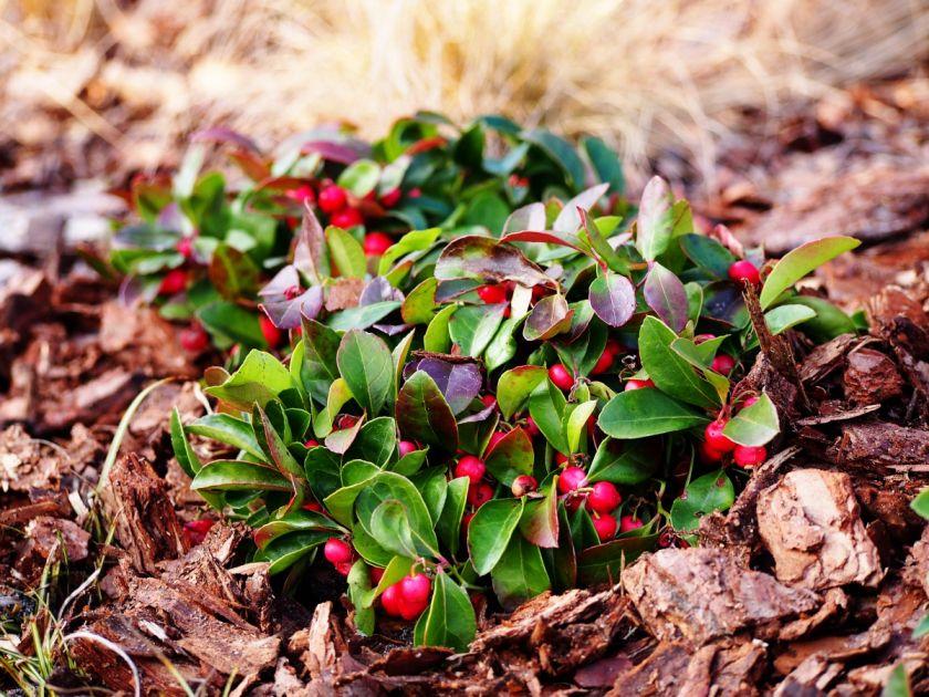 Golteria ma zimozielone liście i efektowne czerwone owoce.